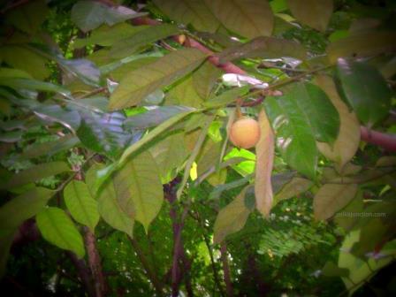 Nutmeg in Backwaters of Kerala