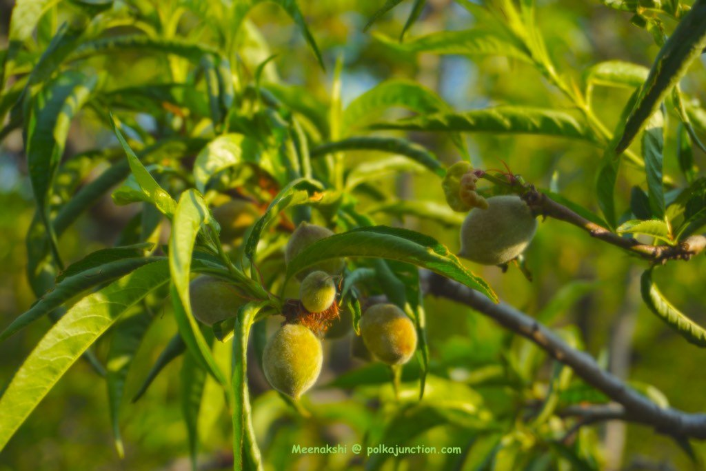 apricot-blooms-parvada